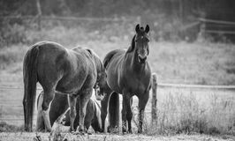 Horses in their corral on a frosty November morning. Stock Images