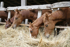 Horses with their heads down eating hay Royalty Free Stock Images