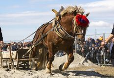 Horse heavy pull tournament stock photography