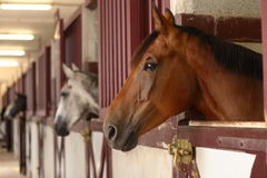 Horses in their stable. Black white and brown Horses in their stable Stock Photos