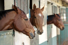 Horses in their stable. Three horses with the head outside of the stable Stock Photo
