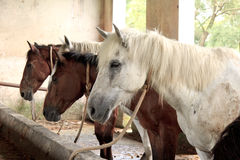 Horses in their stable Royalty Free Stock Photo