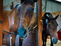 Horses in their stalls stock photo