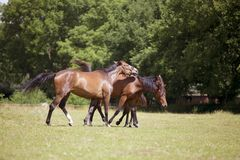 Horses are threatening pasture. Brown horses on a summer pasture are stung by brakes and flies Stock Photos