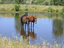 Horses by Three. Three horses coolin off in the pond with reflections of the hot summer day Royalty Free Stock Photography