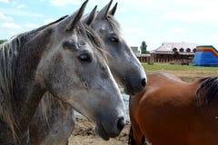 Horses. Three horses on the farm Royalty Free Stock Photos