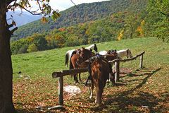 Horses tied to hitching post. Group of horses tied to hitching post on hill or mountainside with forest in background Royalty Free Stock Image