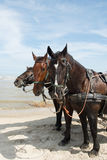 Horses with tilt car at the coast Stock Photography