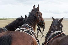 Horses with tilt car at the coast Royalty Free Stock Image