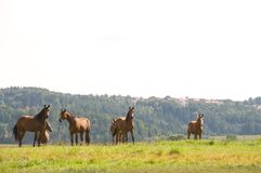 Horses at the top of the hill. Stock Photography