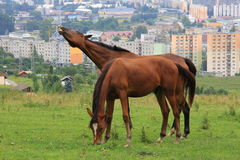 Horses in town... Stock Image