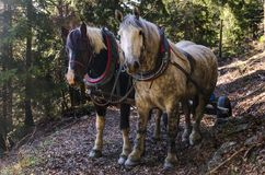 Horses on the trail. The sleigh rides organised in the mountains are associated with highland folklore. Highlanders also use horses for work in mountain valleys stock images