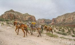 Horses on the Trail to Havasu Falls. Horses carry supplies to and from the Native American village of Supai along the trail that leads to the village and on to stock photo