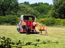 Horses by trailer Stock Image