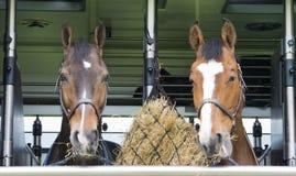 Horses in a trailer Stock Photos
