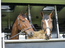 Horses in a trailer Royalty Free Stock Photo