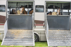 Horses in a trailer Stock Images