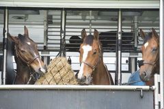Horses in a trailer. Three horses fed in a horse-truck after the race Stock Image