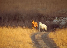 Horses trotting. Two horses trotting uphill near trail in Kansas Royalty Free Stock Images