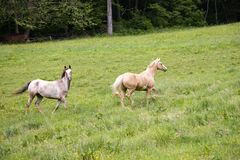 Horses Trotting Royalty Free Stock Photography