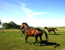 Horses trotting in field Royalty Free Stock Photography