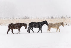 Horses Trudge Through Snow Royalty Free Stock Photography