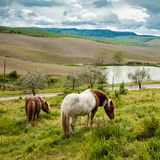 Horses in Tuscany Royalty Free Stock Images