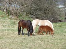 Tricolor horses stock photography