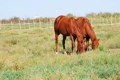 Horses two alike Royalty Free Stock Photo