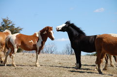 Horses. Two horses being friendly on farm Stock Photography