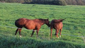 Horses, two brown horses feeding grass in the meadow stock footage