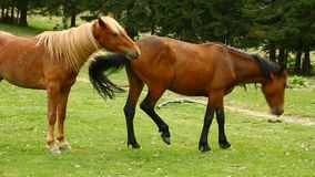 Horses. Two brown horses at meadow stock video
