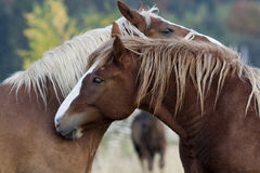 Horses. Two horses on a meadow near Avrig, Transylvania, Romania royalty free stock image