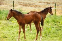 Horses. Two  newborn foals in the meadows Stock Images