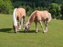 Horses. Two horses on pasture (Korenov, Czech Republic Royalty Free Stock Photography