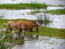 Horses. Two horses trinking water in argentine Royalty Free Stock Photo