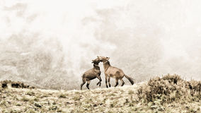 Horses. Two young horses playing with each other at high mountain in foggy background. Painting style retouching Stock Images