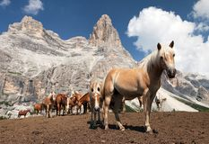 Horses under Monte Pelmo in Italian Dolomities Stock Images