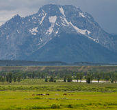 Horses under mount moran Stock Photography