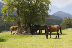 Horses under a tree and sunshine Royalty Free Stock Images