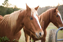 Horses up close. Two horses in a field near a gate royalty free stock images