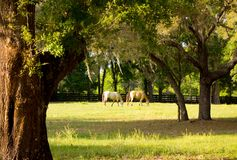 Ponies in a paddock at a training facility in florida Royalty Free Stock Images