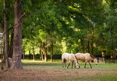 Ponies in a paddock at a training facility in florida Royalty Free Stock Photo