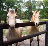 Two blonde horses in a paddock Royalty Free Stock Image