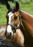 Horses. Val Brembana (Bg), Italy, some horses grazing Stock Image