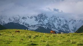 Horses in the valley. Pasture in Svaneti mountains in Georgia, Caucasus Royalty Free Stock Images