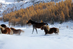 Horses in Valtournenche. Winter view of some horses galloping in the snow in Valtournenche hamlet of Cheneil (ITALY Stock Images