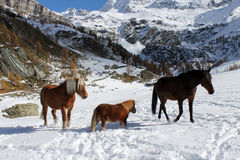 Horses in Valtournenche. Horses walking in the snow in Cheneil (Valtournenche - ITALY Royalty Free Stock Images