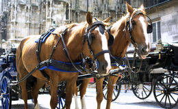 Horses in Vienna. Horses with carriage in Vienna, ready for a city tour. St. Stephen's Cathedral in the background Royalty Free Stock Photo