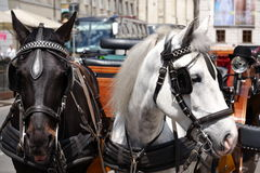 Horses in Vienna Royalty Free Stock Images